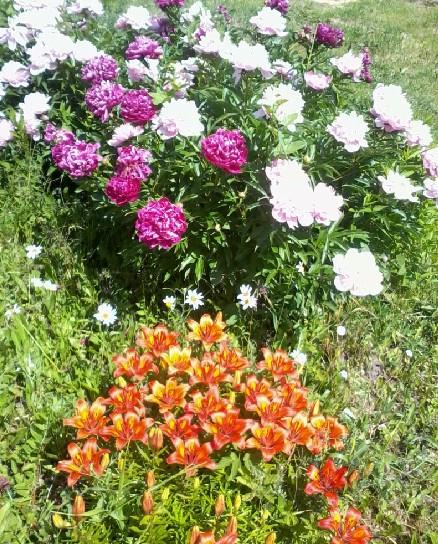 Цветы в саду на даче благоухают глаз